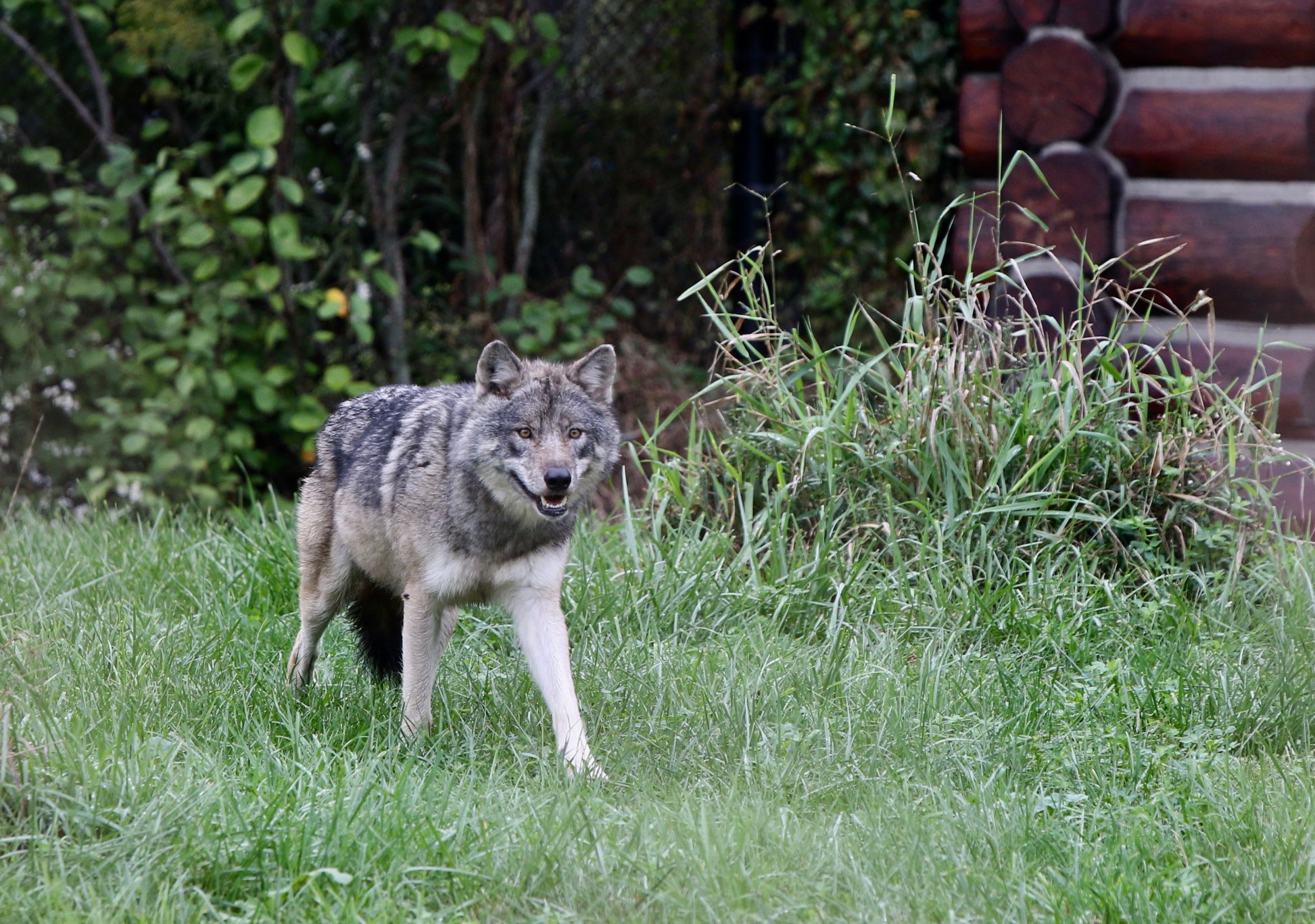 Detroit Zoo Welcomes Female Gray Wolf Renner After Death Of Waziyata In June