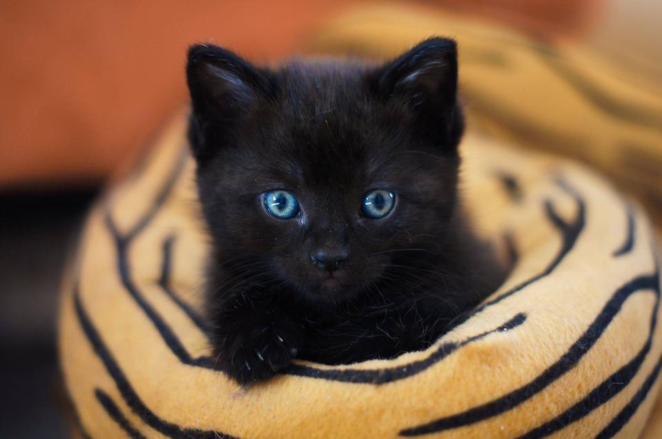 Baby Black Cat