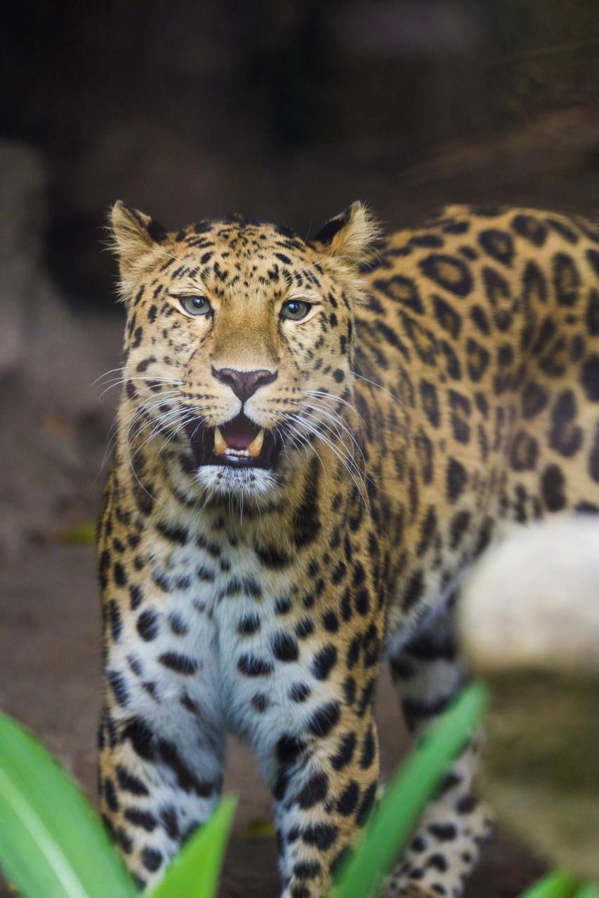 sb-zoo-new-leopard.jpg