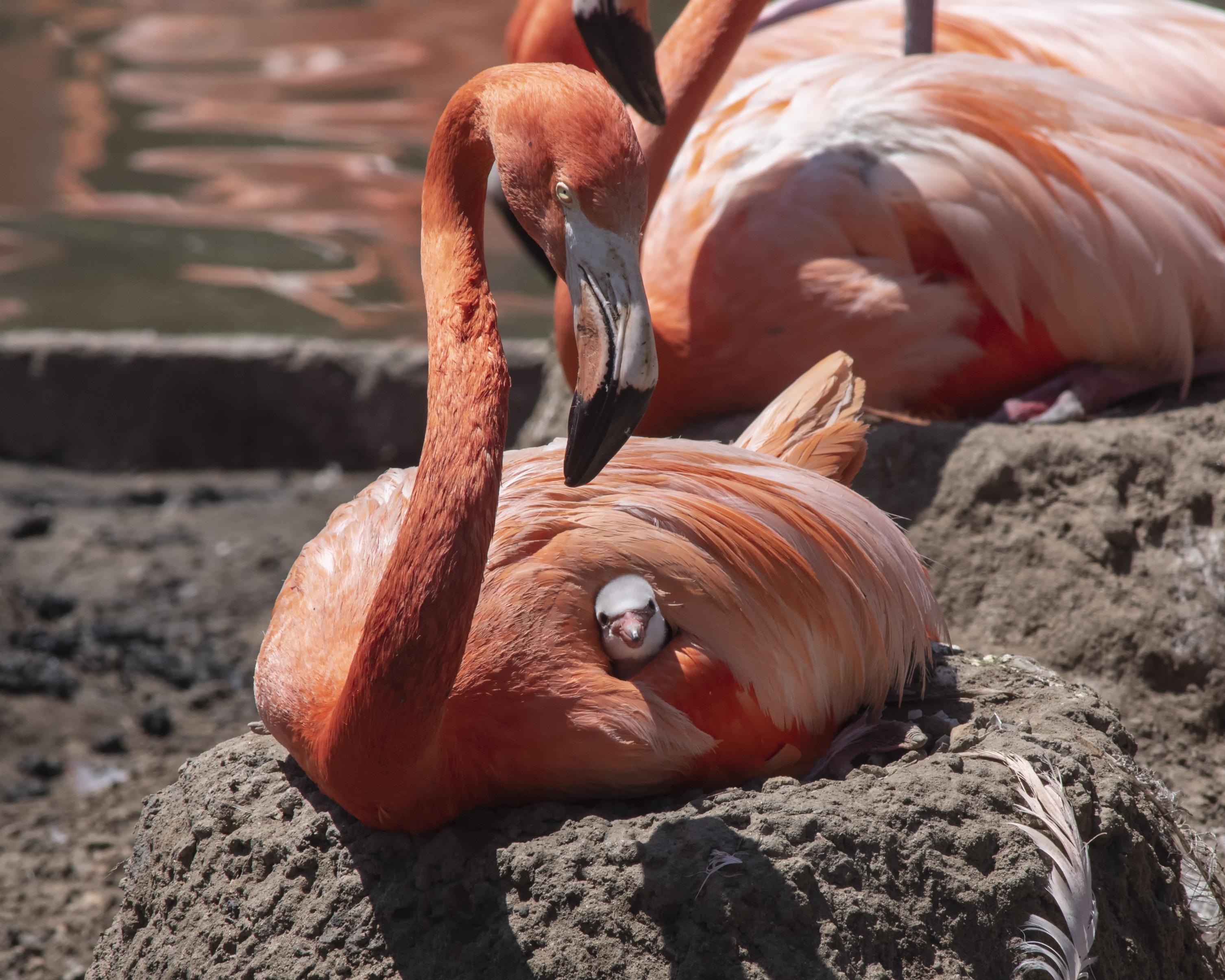 Seaworld Welcomes New Flamingo Chicks To The Flamboyance