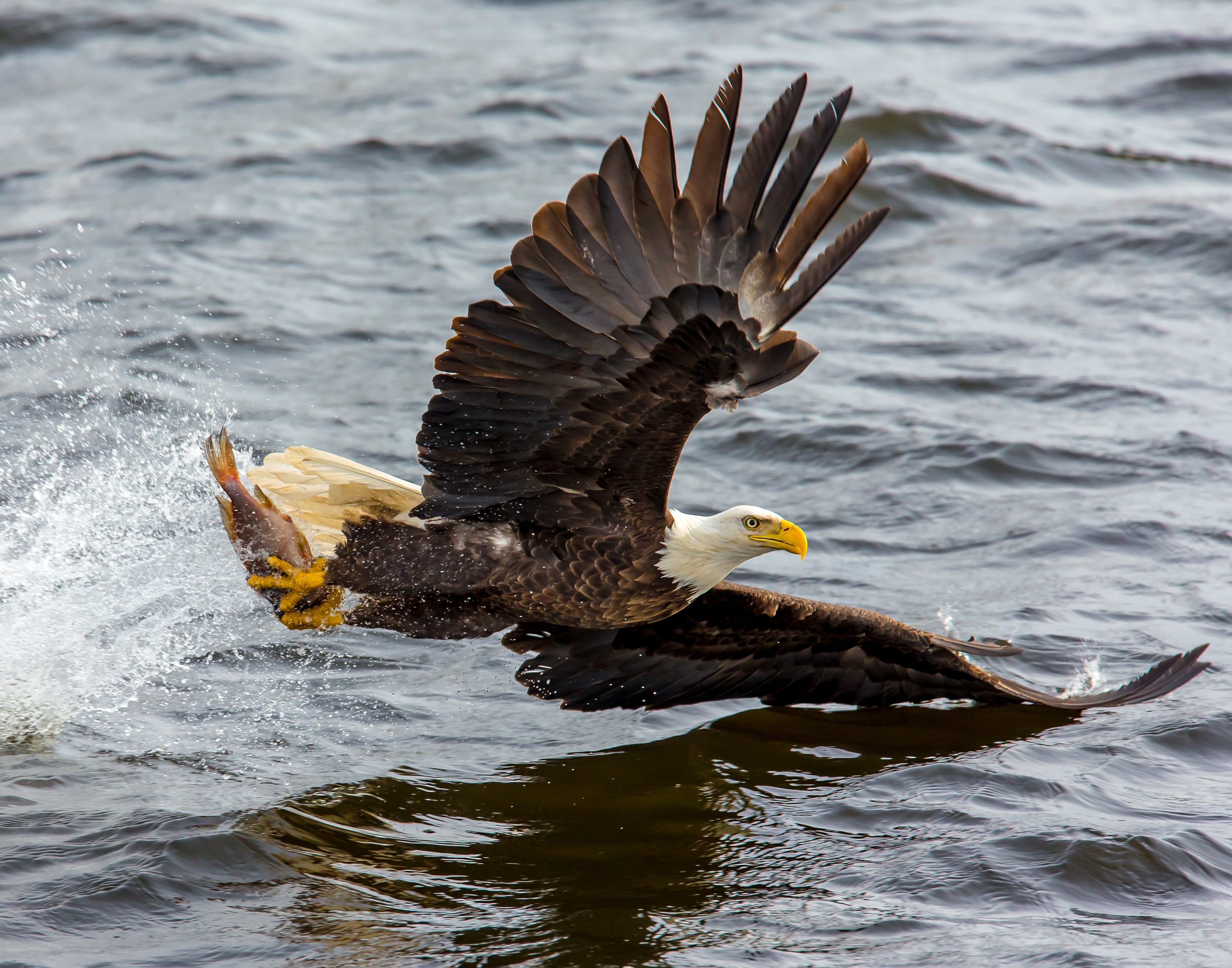 Amazing Shot Of Bald Eagle Taken Near Lake Erie Goes Viral Worldwide