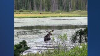 Silver Lake moose.jpg