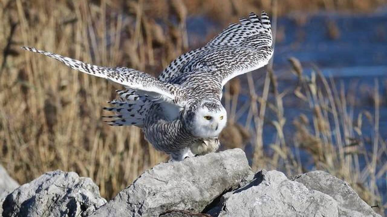 Will we see snowy owls along Lake Erie?