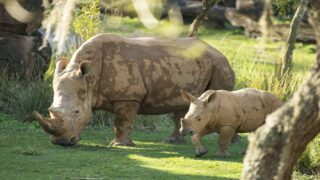 Endangered Baby Rhino Made His Public Debut At Disney's Animal Kingdom