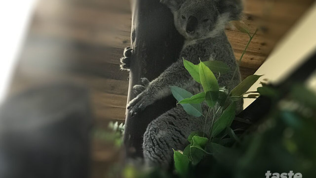 Katherine the Koala boards flight from L.A. to Fort Lauderdale to meet her mate
