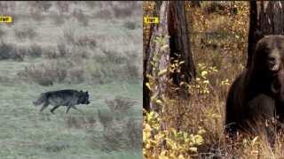 Montana Ag Network: Predators eat away MT Livestock Loss Board budget