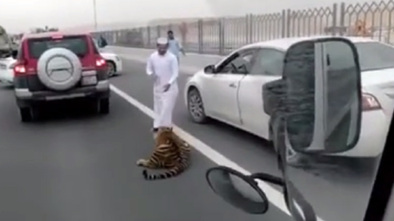 WATCH: Tiger roams busy highway after escaping from car