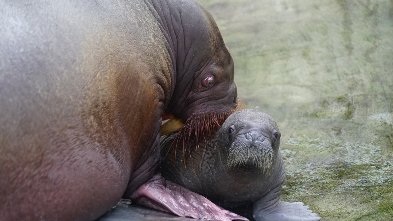 Whiskered baby walrus 7.JPG