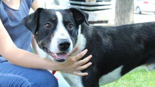 La Plata County Humane Society dog with arrow in skull