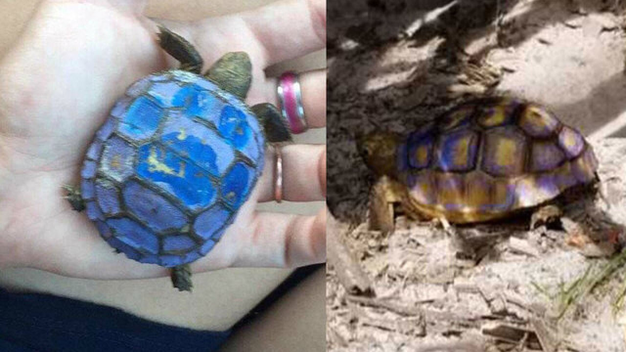 Gopher tortoise found painted blue in Pasco