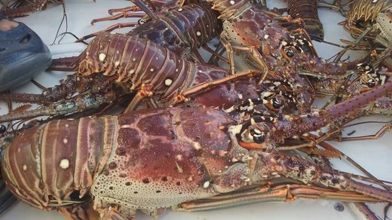 Florida lobster fishermen fear trade war amid Irma recovery