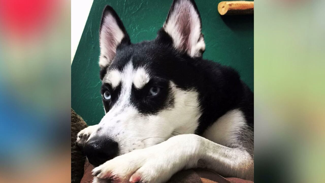 Dog owner facing charges after husky goes on animal 'killing spree' in Tooele