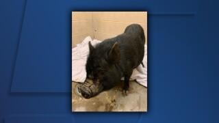 Mansfield Lost Pig.jpg