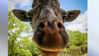 Kimba the giraffe dies at Cincinnati Zoo