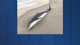 dolphin killed on beach.png