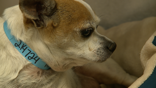 Denver dog recovering after a near-death experience in a 117-degree car