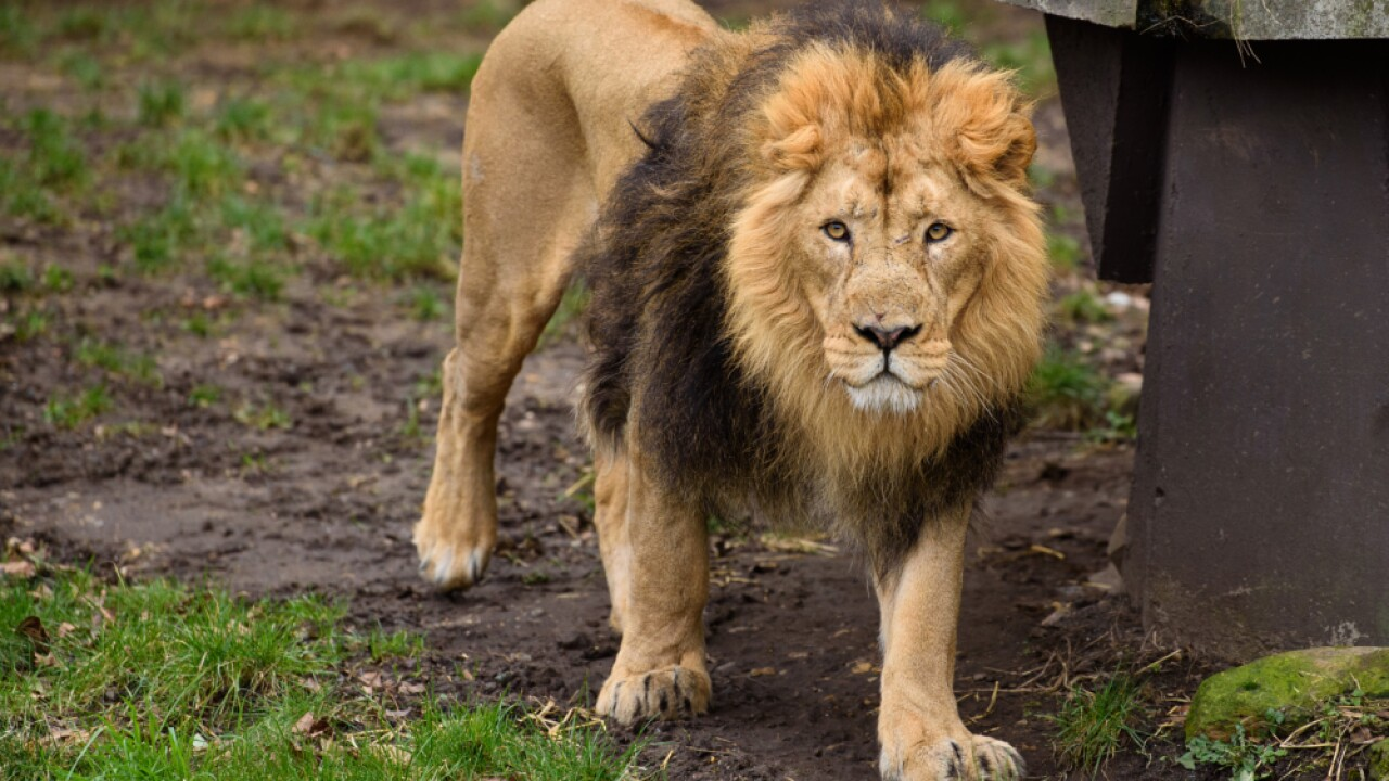 Lion generic.jpg