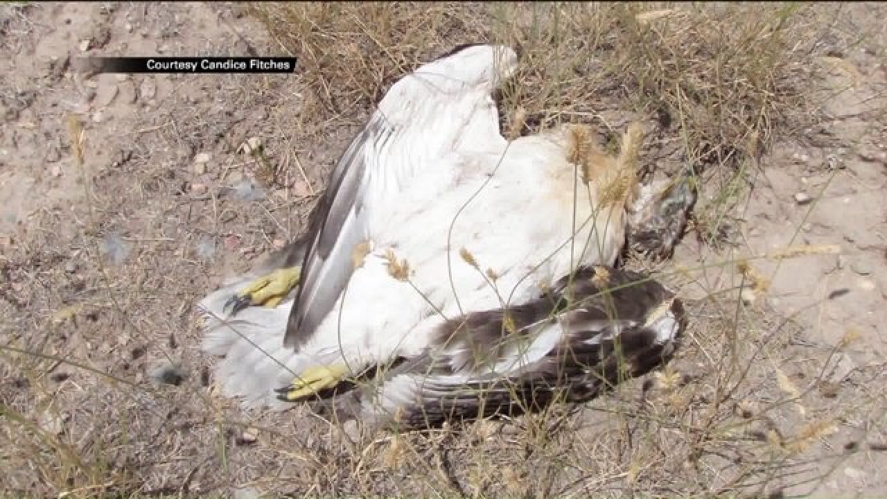 $5,000 reward offered for info after 2 baby hawks shot, killed in nest