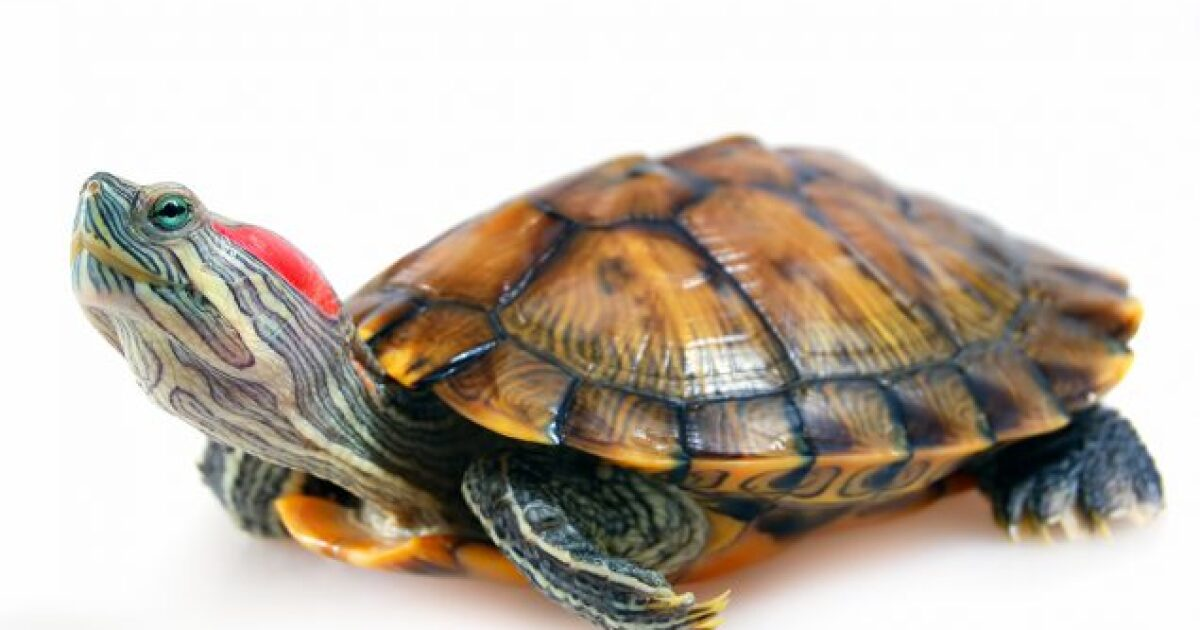 Cdc Warns Of Salmonella Outbreak Linked To Contact With Pet Turtles