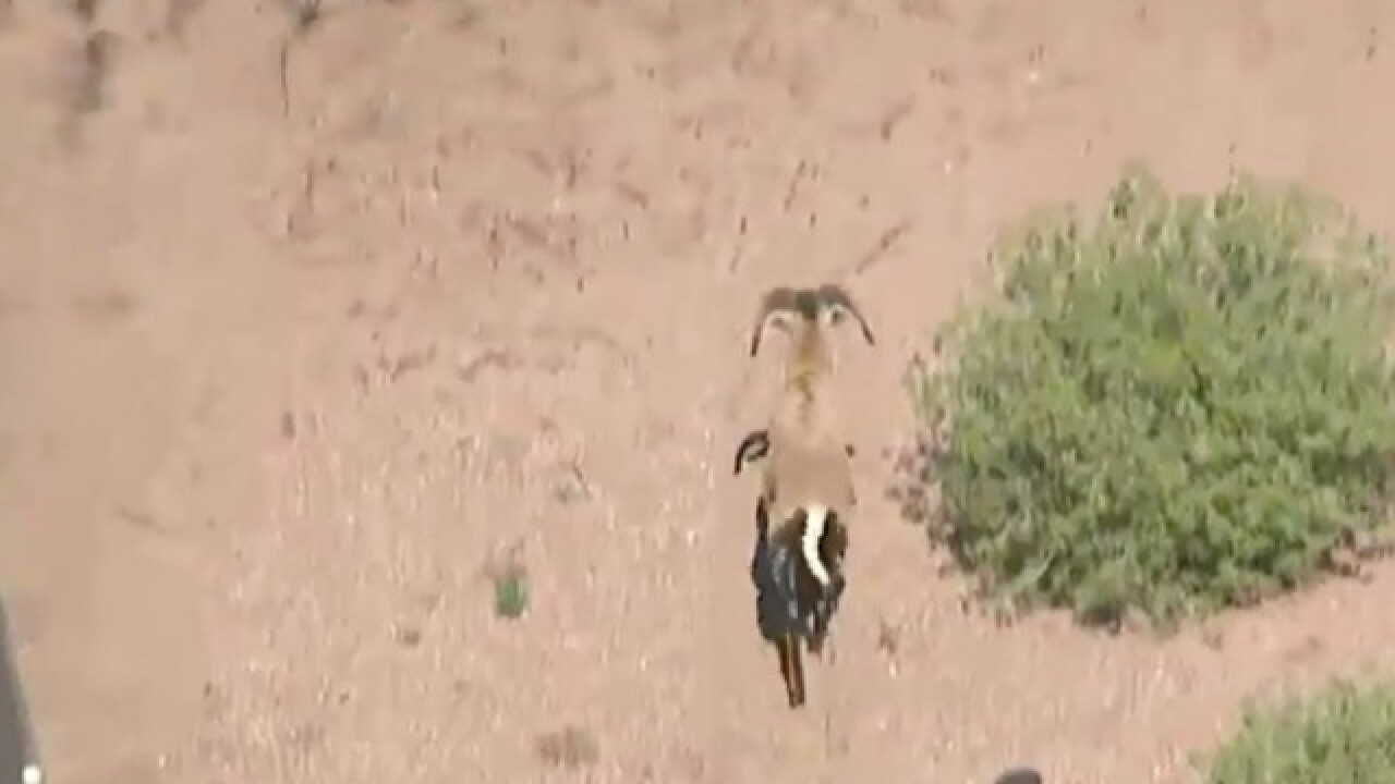 Goat on the loose in Mesa killed on Loop 101