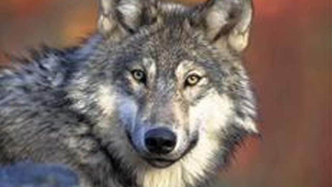 Expect wolves in Colorado, Colorado Parks and Wildlife says