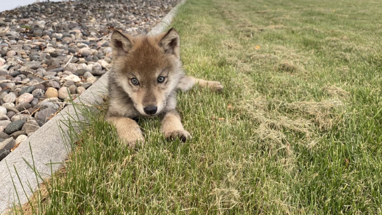 ZooMontana in Billings is now home to a Grey Wolf pup