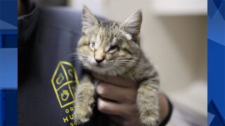 Kitten born without eyes seeking forever home for the holidays