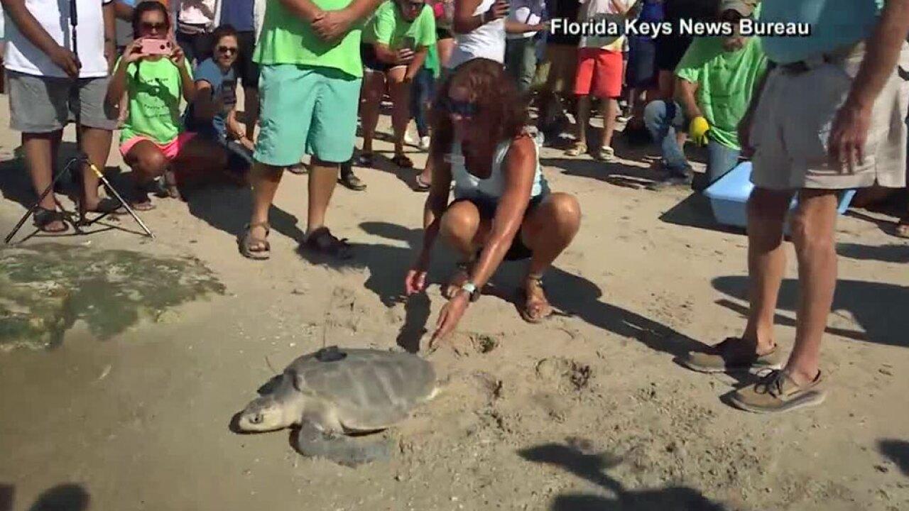 wptv-olive-ridley-sea-turtle-.jpg