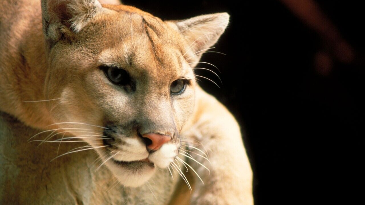 MTN News file photo of a mountain lion