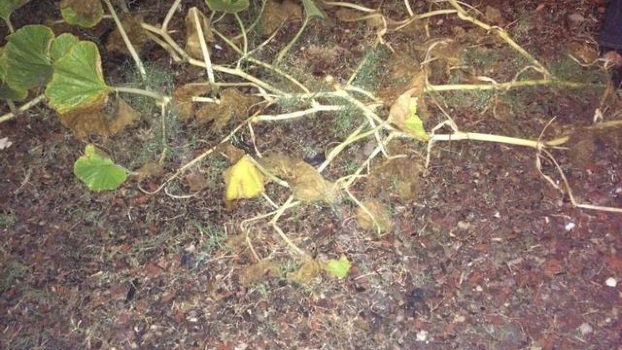 60-pound pumpkin stolen from front yard