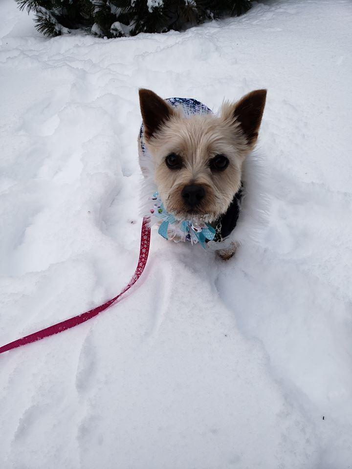 Small dog waddling through snow