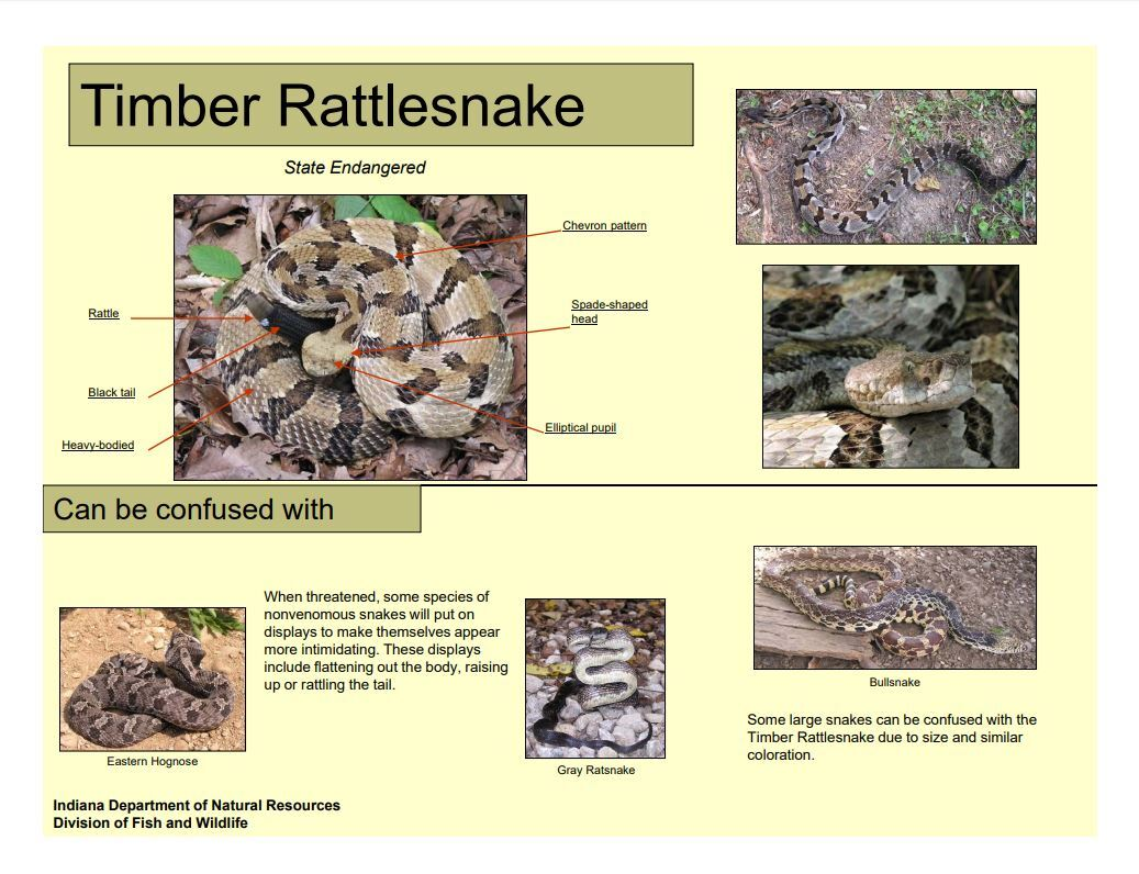 Timber rattle snake guide.JPG