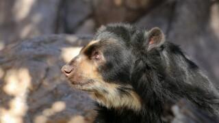 Joaquin, an Andean bear, at the Reid Park Zoo