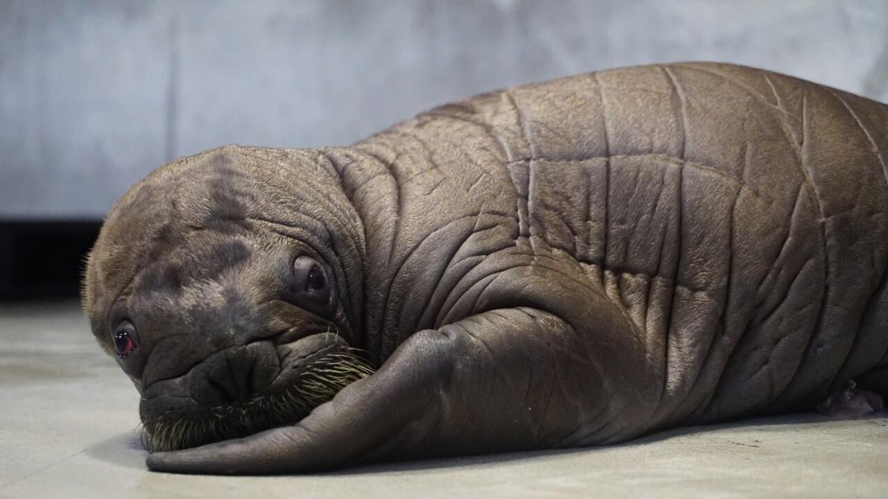 Whiskered baby walrus 4.JPG