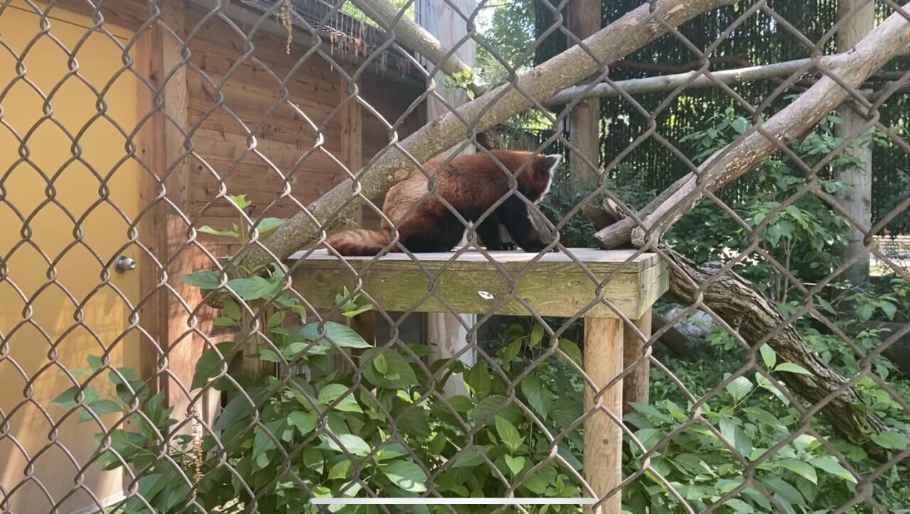 Red Panda at the Potter Park Zoo