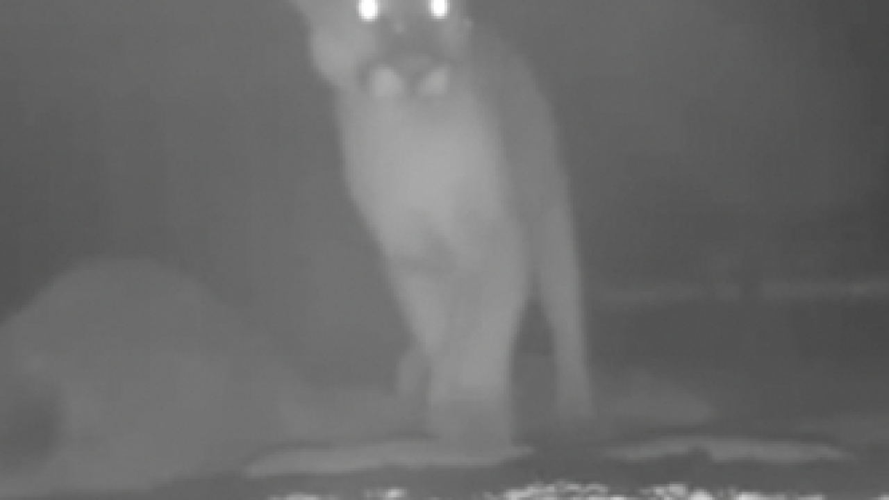 String of mountain lion attacks spark worries in Descanso area