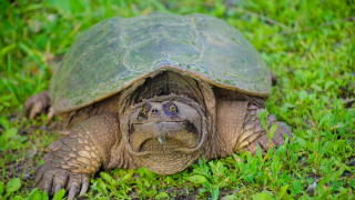 Have you seen a snapping turtle in Montana west of the Continental Divide?