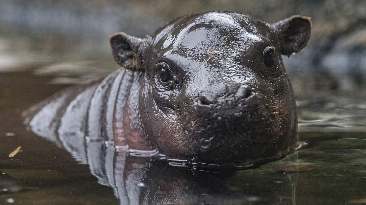 san diego zoo Pygmy Hippo Calf akobi 2