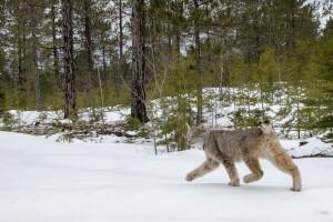 Lynx-6.jpg