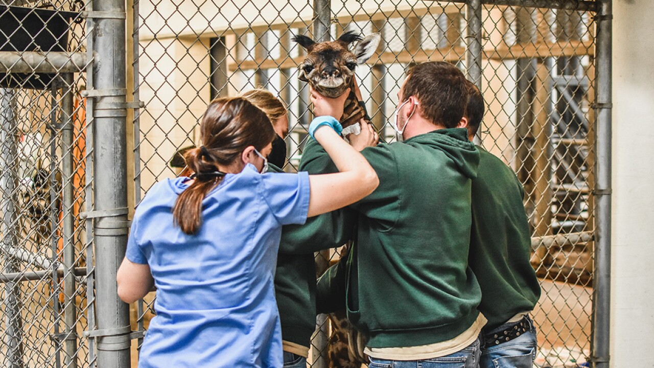 Virginia Zoo Giraffe 3.jpg