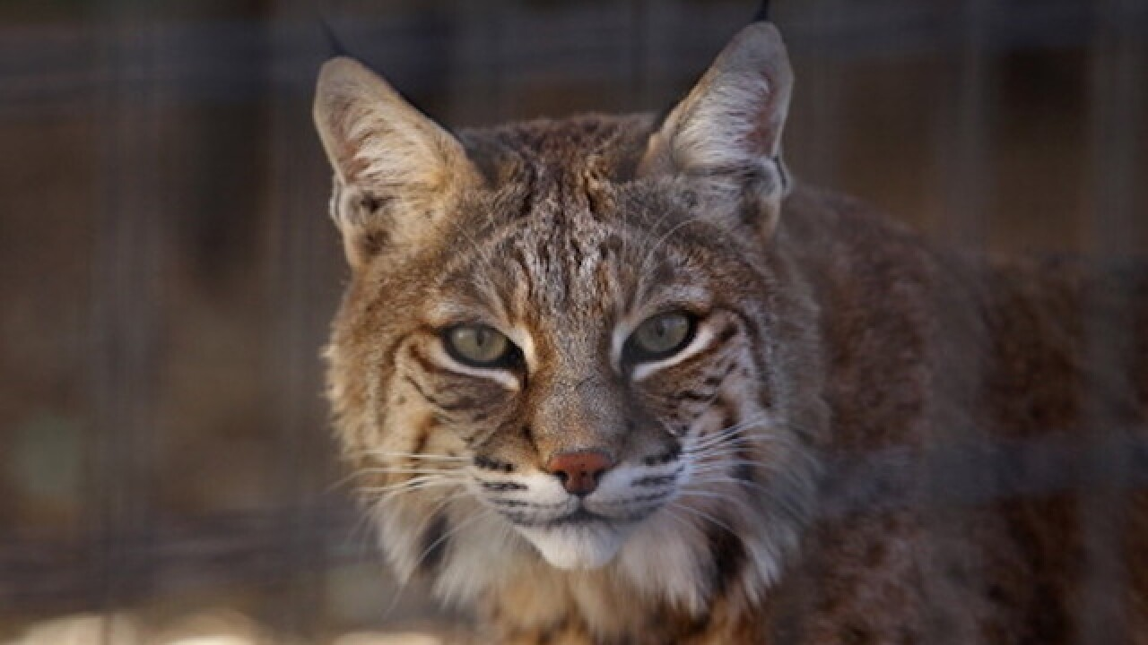 Georgia grandmother kills bobcat with bare hands after being attacked