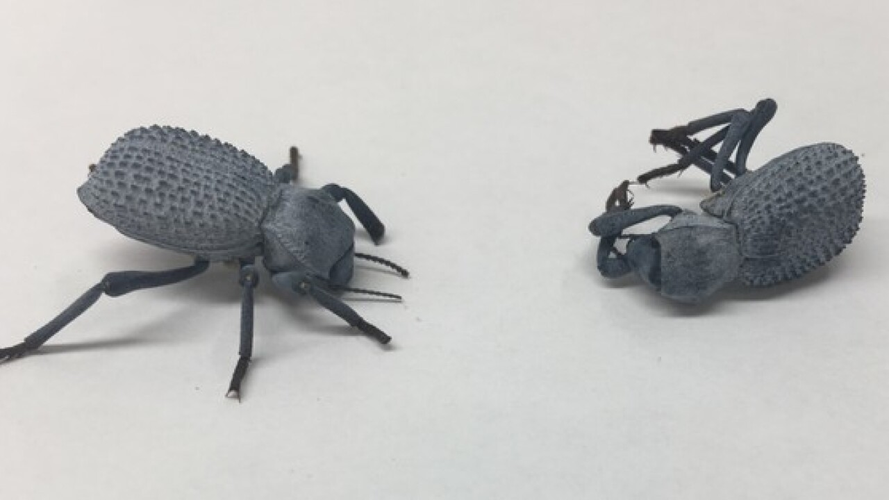 This beetle plays dead better than a possum