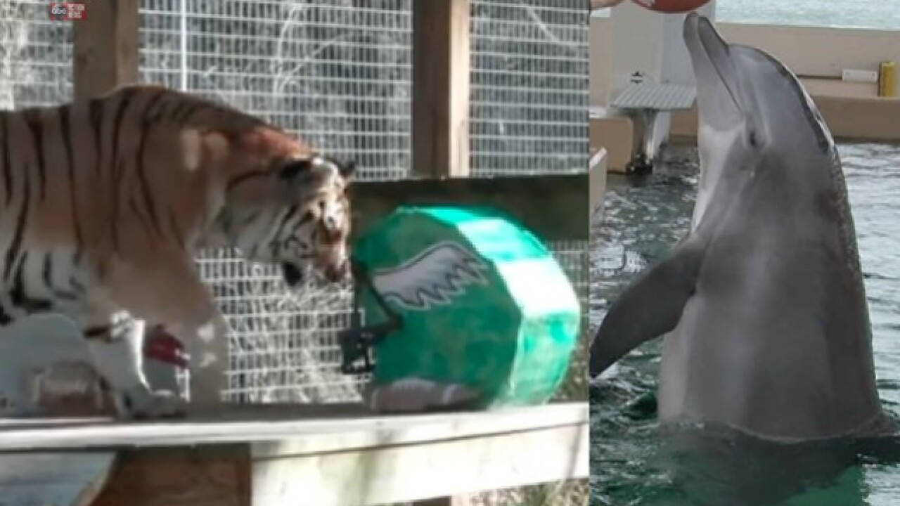 Tampa Bay animals make their Super Bowl pick