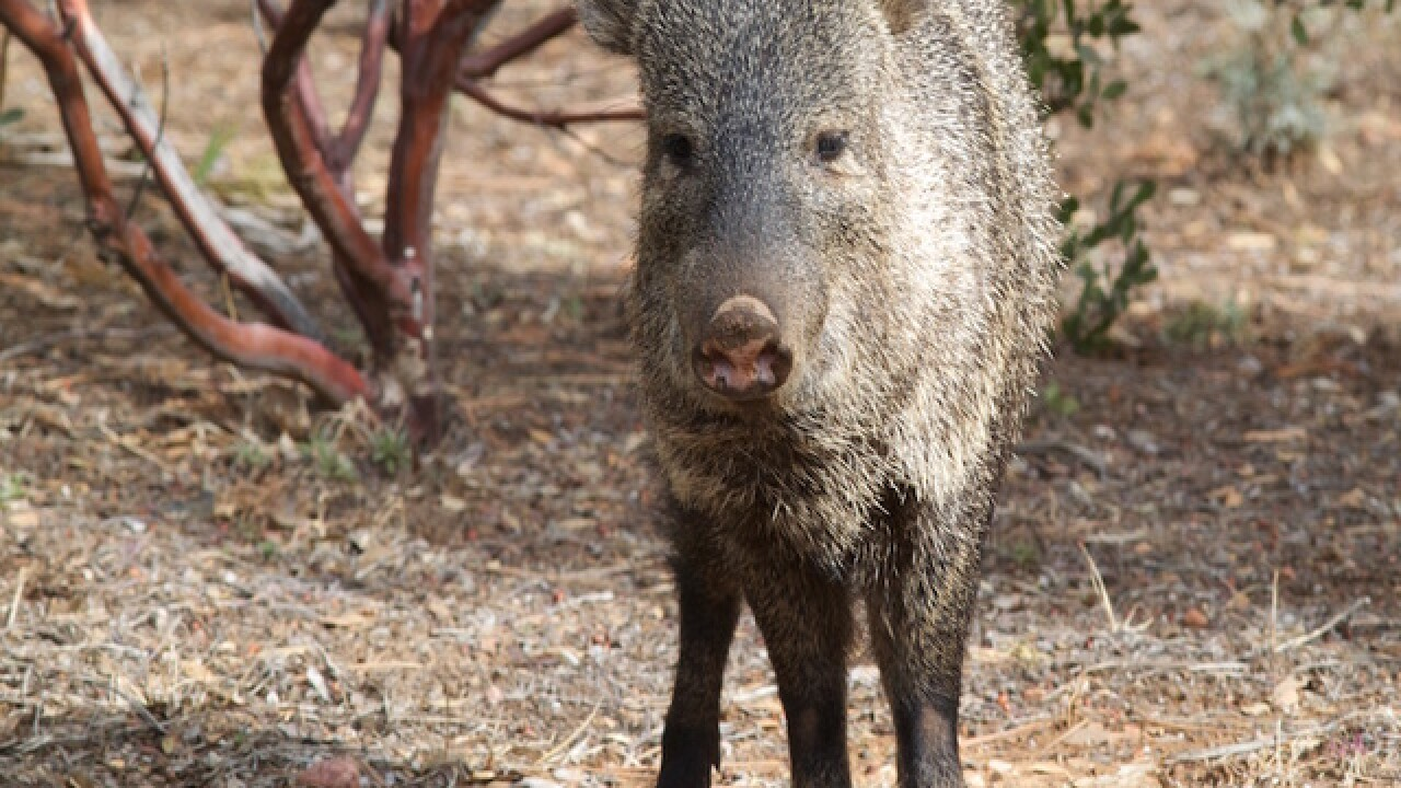 Seen one? 7 things to know about javelina