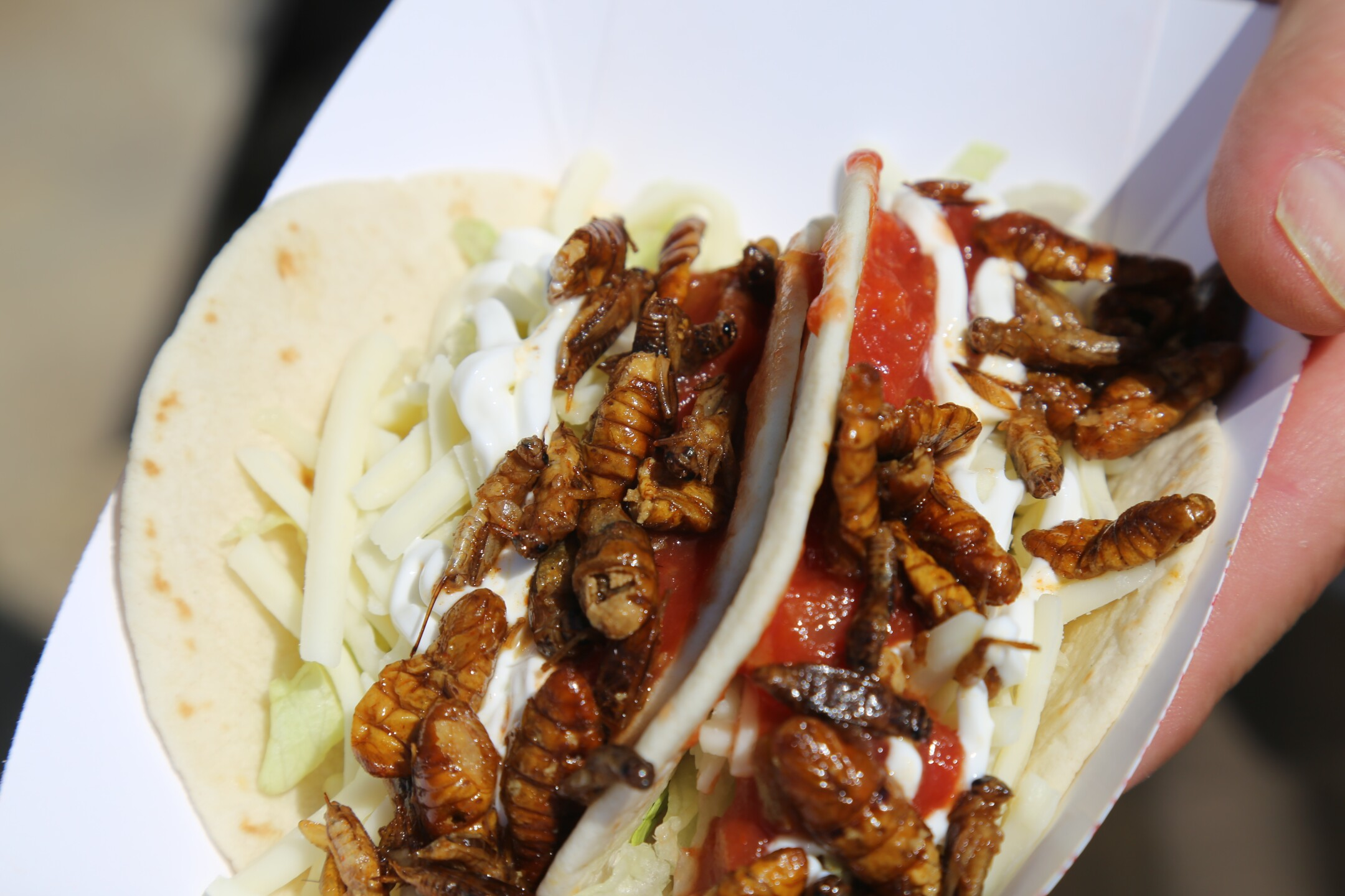 Cricket and Silkworm Taco