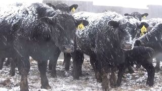 calving in the snow.jpg