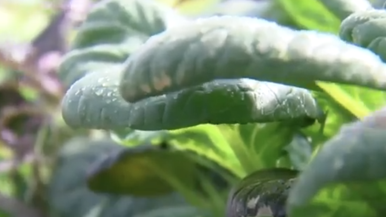 farm salad greens growing kale