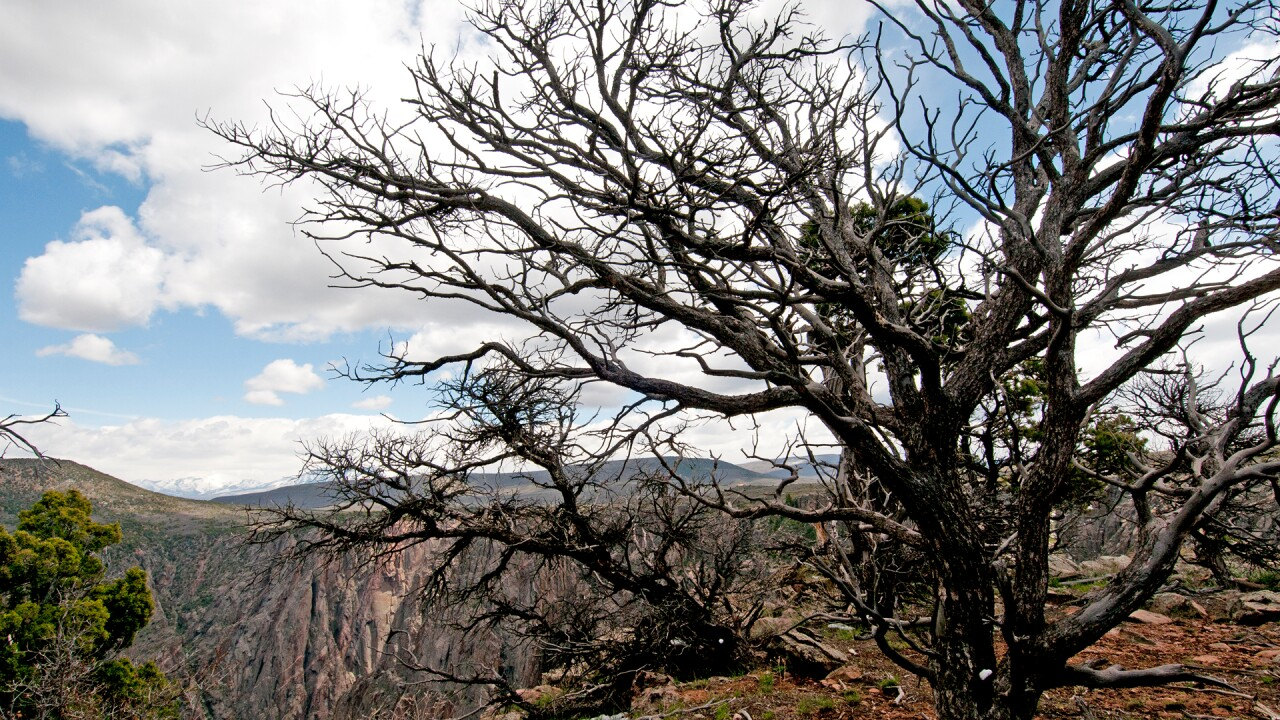 Black Canyon of the Gunnison Juniper Tree NPS Lisa Lynch.jpg