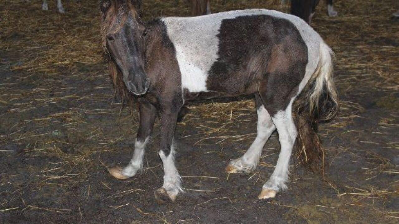 miniature horse cruelty