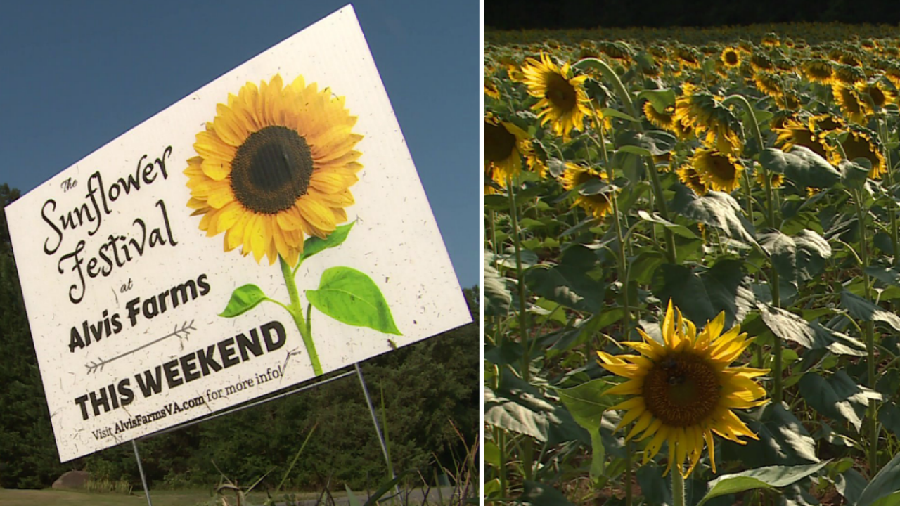 🌻Walk through rows of towering flowers at first-ever Goochland Sunflower Festival